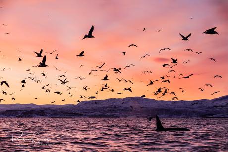 Orca's bij zonsopkomst