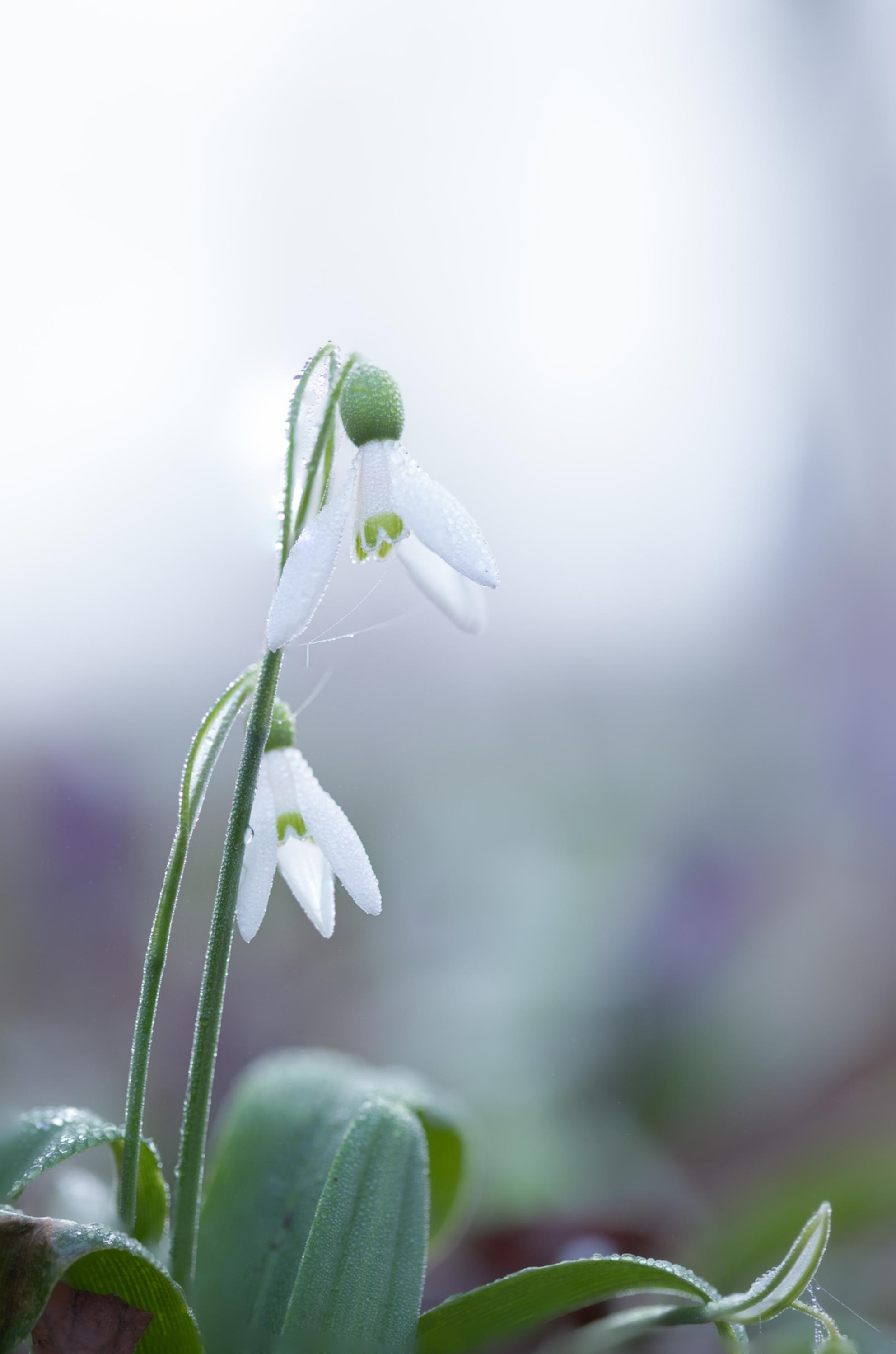 Winterklokje 2 - Mistige morgen - foto door suzanharmsen op 03-03-2021 - deze foto bevat: lucht, macro, lente, natuur, druppel, licht, mist, nederland - Deze foto mag gebruikt worden in een Zoom.nl publicatie