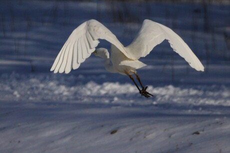 Witte Reiger AWD
