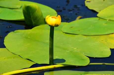 Gele waterlelie 2