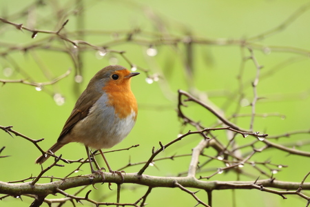 Roodborstje - - - foto door KarinVeenema op 17-12-2020 - deze foto bevat: roodborstje, vogel, wildlife, robin