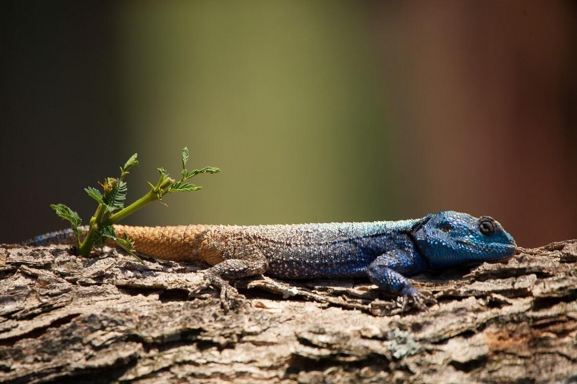 In Kololo, Zuid-Afrika - kwam deze hagedisachtige tegen op een boom, hij bleef mooi stil zitten - foto door hanskl op 17-03-2015 - deze foto bevat: afrika