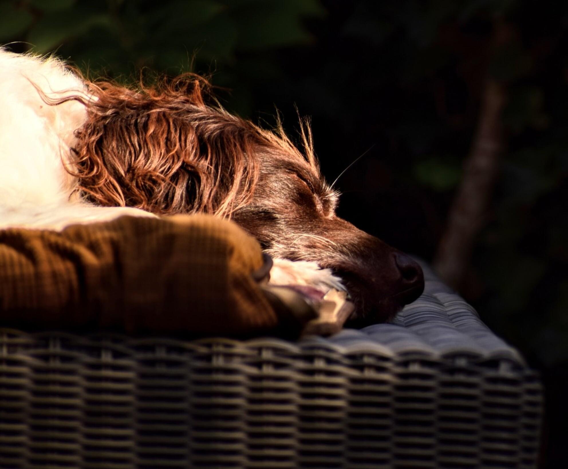 Sleeping dog - - - foto door jeannette2612 op 29-10-2018 - deze foto bevat: foto, hond, daglicht, dog, slapen, heidewachtel - Deze foto mag gebruikt worden in een Zoom.nl publicatie