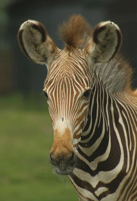 Het Zebrajong