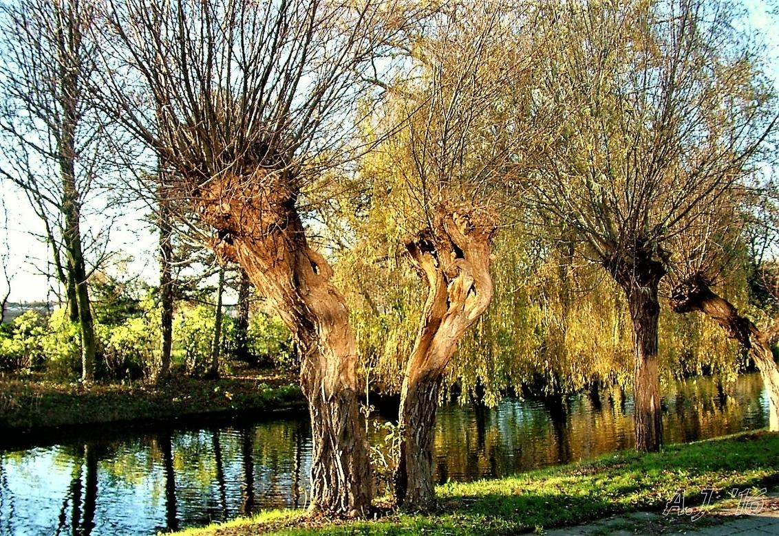 gespleten - gespleten maar nog lang niet dood  Gtjs.AJ62 - foto door AJ62 op 17-02-2020 - deze foto bevat: boom
