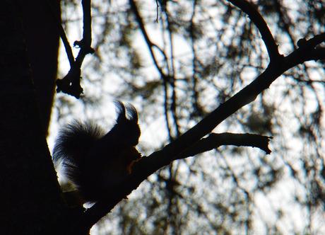 Eekhoorntje in tegenlicht