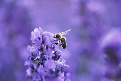 Liefde voor lavendel