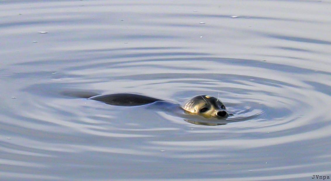 Zeehond - uit het archief,  een zeehond in de haven van NPZ. - foto door Vissernpz op 06-04-2021 - deze foto bevat: water, zeehond