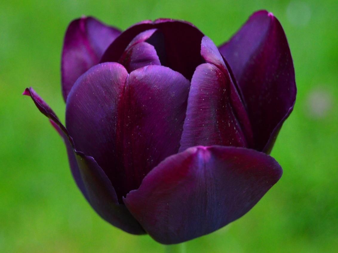 tulp - - - foto door lucverryckt op 27-11-2018 - deze foto bevat: bloem, tuin, tulp