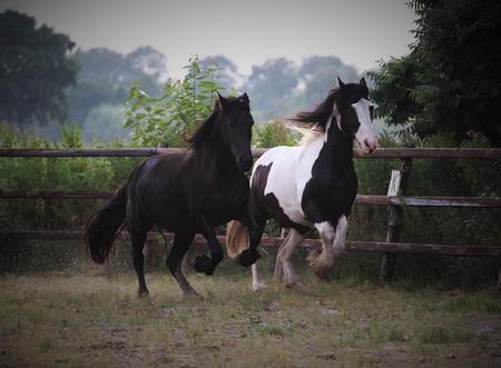 Paardenrace - - - foto door kiimmrtn op 28-07-2016 - deze foto bevat: race, bont, paarden, paard, snel, mooi, hard, fries, galop, tinker, kwpn