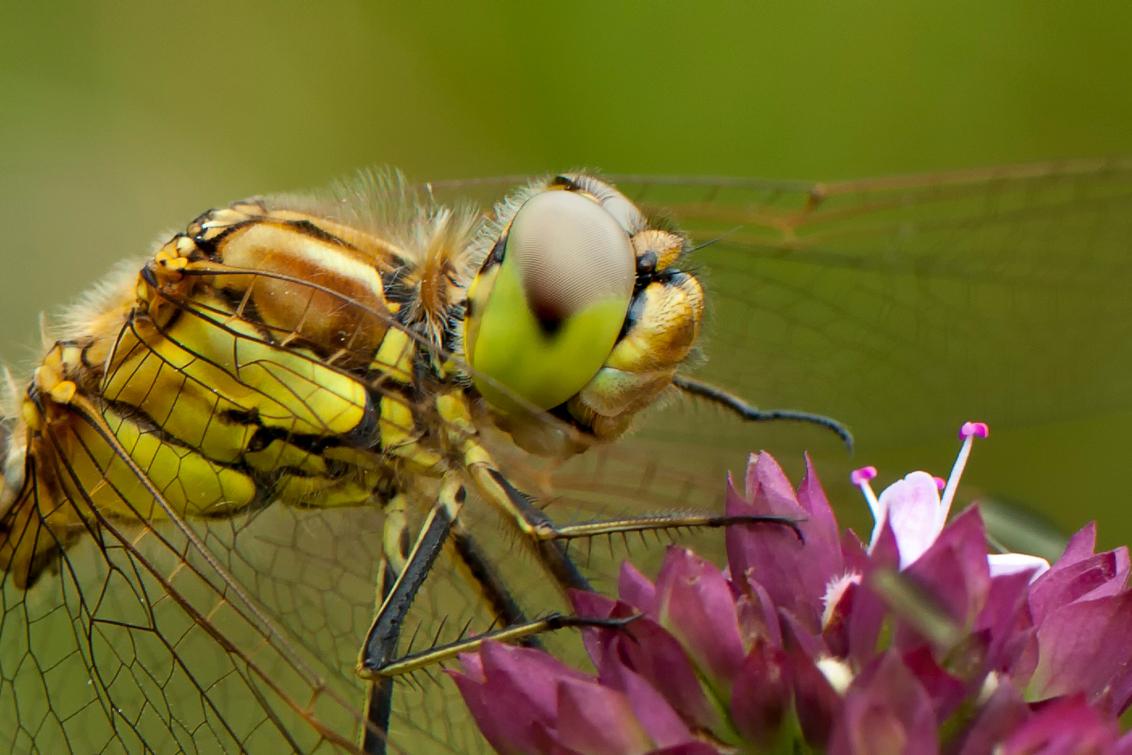 Goedemorgen allemaal... - op deze bewolkte ochtend, gaan we een lekker buitje krijgen straks? Deze close up is een flinke crop van de heidelibel uit de appelzak. Het lijkt net - foto door wilhelmien op 24-07-2013 - deze foto bevat: macro, heidelibel, insecten