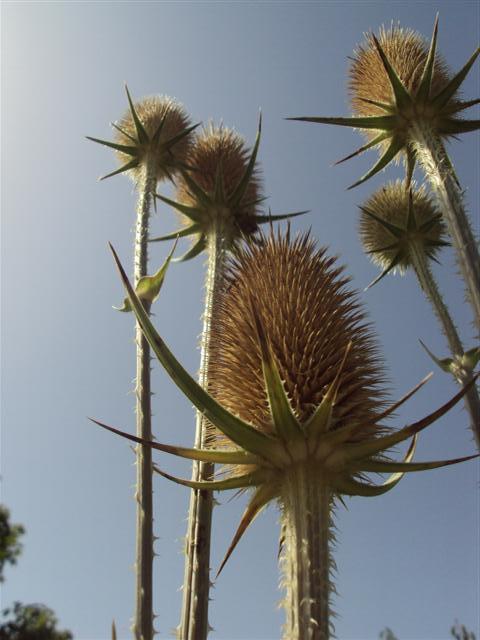 Kopjes in de lucht - Wilde Karde - foto door ReneTillmans op 26-10-2014 - deze foto bevat: lucht, bloem, natuur, blad, landschap, tegenlicht, zomer