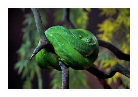Groene Slaper