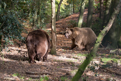 Zag twee beren