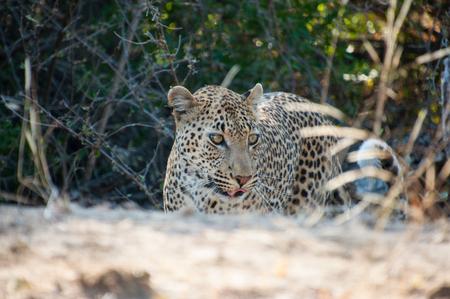 Hier kom ik - Een klein stukje deze luipaard kunnen volgen die plots de bosjes uit kwam lopen en vlak achter de auto overstak naar de andere kant van de weg. Kruge - foto door markesch op 07-12-2016 - deze foto bevat: natuur, dieren, safari, nikon, afrika, wildlife, luipaard, sigma, zuid afrika, kruger park, 2016