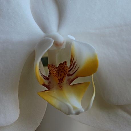 Hart van Orchidee