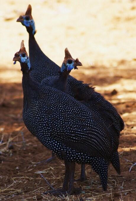 drieluik, helmeted guineafowl