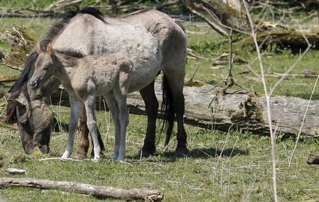 konik paard in oostvaardersplassen