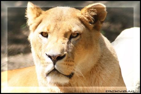 de leeuwin