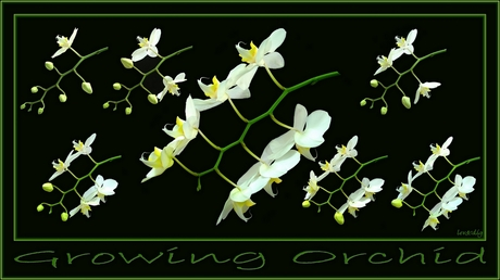 Growing Orchid