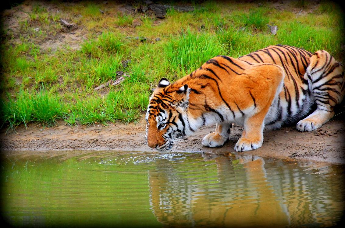 Dangerous Water - Pas op bij deze drinkplaats, er komen tijgers - foto door Deka_zoom op 05-10-2012 - deze foto bevat: natuur, tijger, wildlife