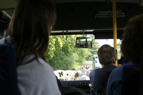 Kijk uit koeien!