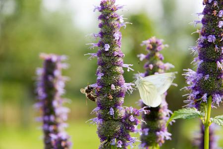 2gether - Een bij en een koolwitje delen een lekker stukje lavendel - foto door Cone_Dman op 29-09-2012 - deze foto bevat: bloem, bij, vlinder, koolwitje