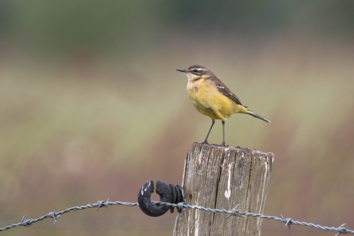 Gele kwikstaart - Deze gele kwikstaart kwam ik tegen in het kruidenrijke veld. Prachtige vogels om te zien! - foto door rickwijnberg op 30-05-2015 - deze foto bevat: lente, voorjaar, weidevogel, salland, luttenberg, Gele kwikstaart, akkervogel