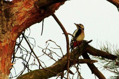 Bonte Specht - Soesterduinen leverd een hoop moois op. Tijdens het spotten van de Ransuilen kwam er ook een Specht in de zelfde boom zitten. Ook deze was niet van - foto door fredoverstegen op 17-01-2013 - deze foto bevat: soesterduinen, bonte specht, natuur.