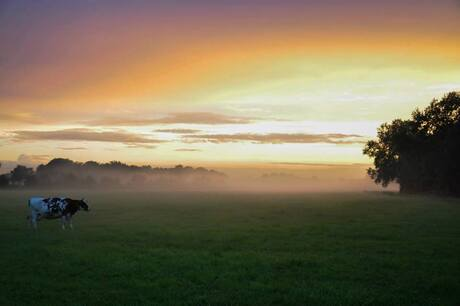 Koe en mist