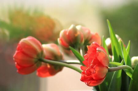 Een bloemetje - Als je even niet oplet dan groeien de tulpen de vaas uit.  bedankt voor de reacties en tips op de anemoon, ik heb er veel aan gehad. - foto door tania1971 op 11-01-2012 - deze foto bevat: tulpen