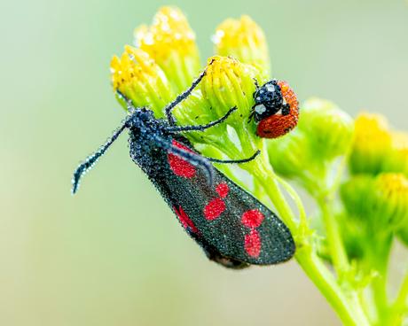 Sint-jansvlinder én lieveheersbeestje, bedauwd bij elkaar op één plantje.