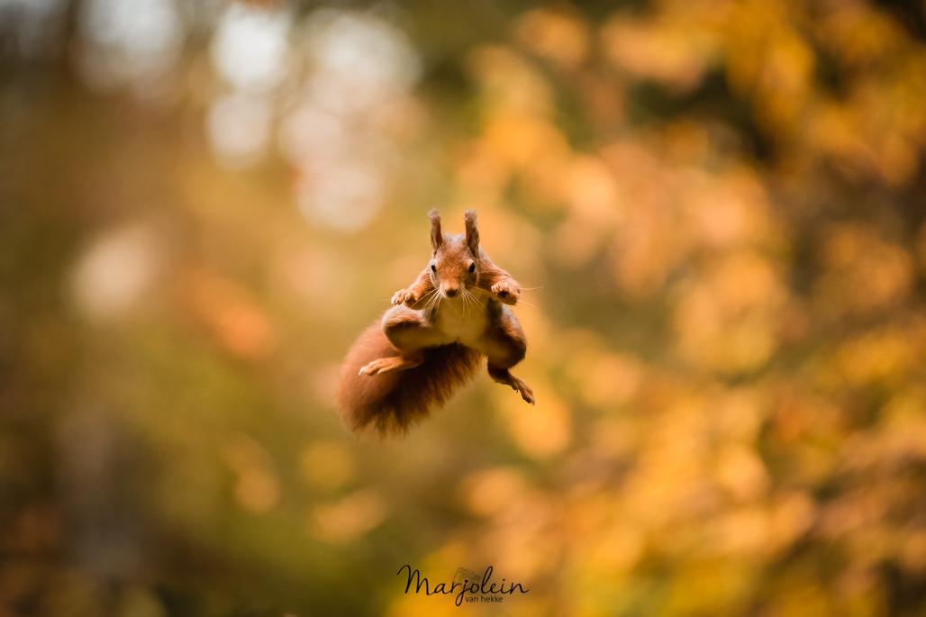 Jump - - - foto door Vanhekke op 10-11-2020 - deze foto bevat: natuur, herfst, dieren, eekhoorn, bos, jump