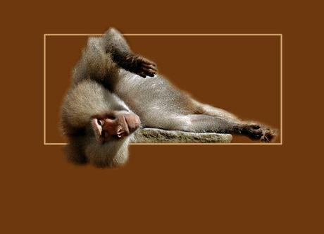 Luie baviaan