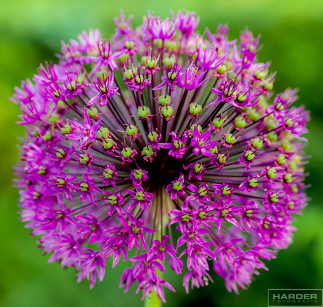 alliumgigaentium (sierui)
