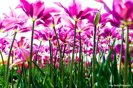 Tulpen in de Polder 01