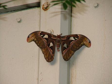 mooie grote atlasvlinder
