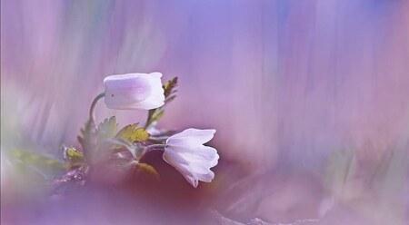 Bosanemoontjes - De eerste bosanemoontjes zijn er weer. - foto door kaatjewanrooij op 28-02-2021 - deze foto bevat: paars, macro, bloem, lente, licht, dauw