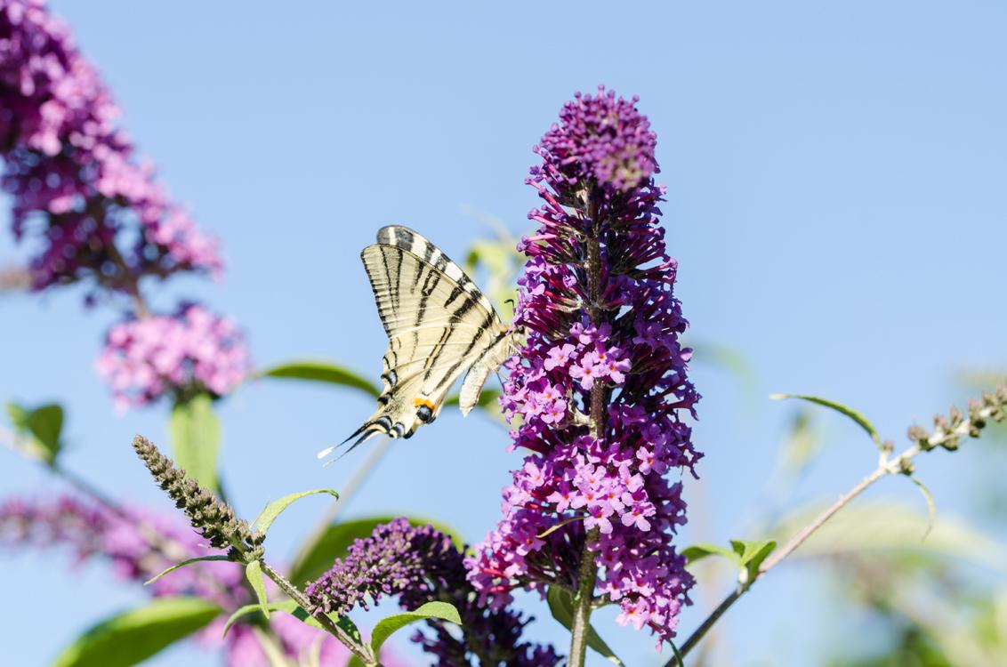 koninginnenpage - Ik vind de foto wel erg druk maar de vlinder ook erg mooi, daarom toch maar geplaatst. Ik had mijn macrolens op de camera zitten maar vanwege de afst - foto door anniest op 31-07-2015 - deze foto bevat: zon, bloem, vlinder, zomer