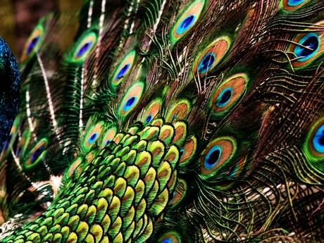 kleurrijke pauw