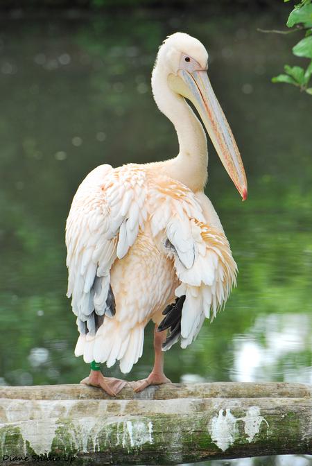 Pink Pelican - Een pelikaan in Aqua Zoo Friesland was zo vriendelijk om even voor me op te kijken...  16-06-2013 - foto door DianeStudioUp op 06-07-2013 - deze foto bevat: pelikaan, up, nikon, studio, aqua, zoo, friesland, diane, d60