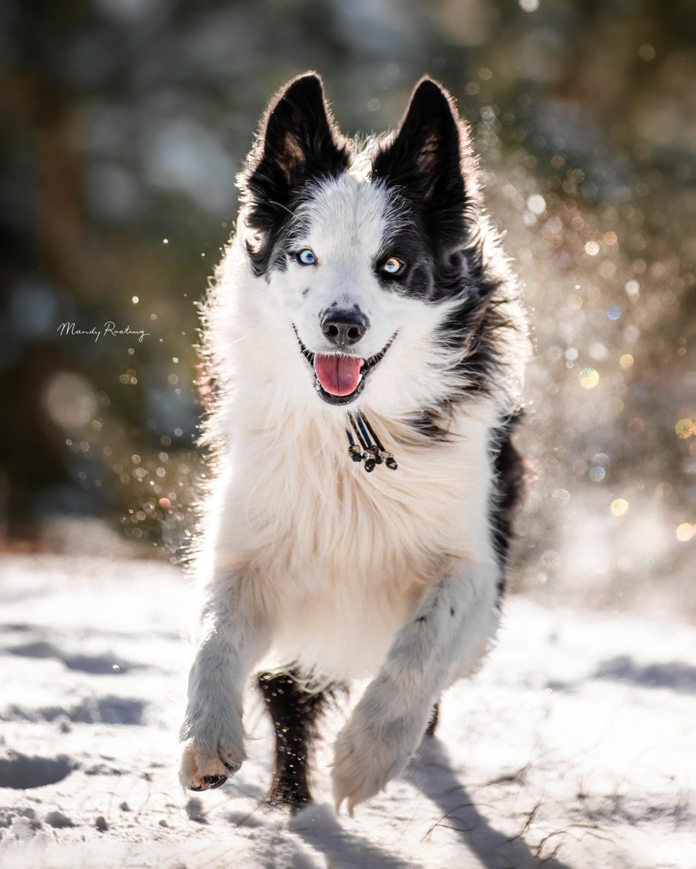 Remy in de sneeuw - - - foto door MandyRoeting op 15-03-2021 - deze foto bevat: sneeuw, hond, soest, blij, Border Collie