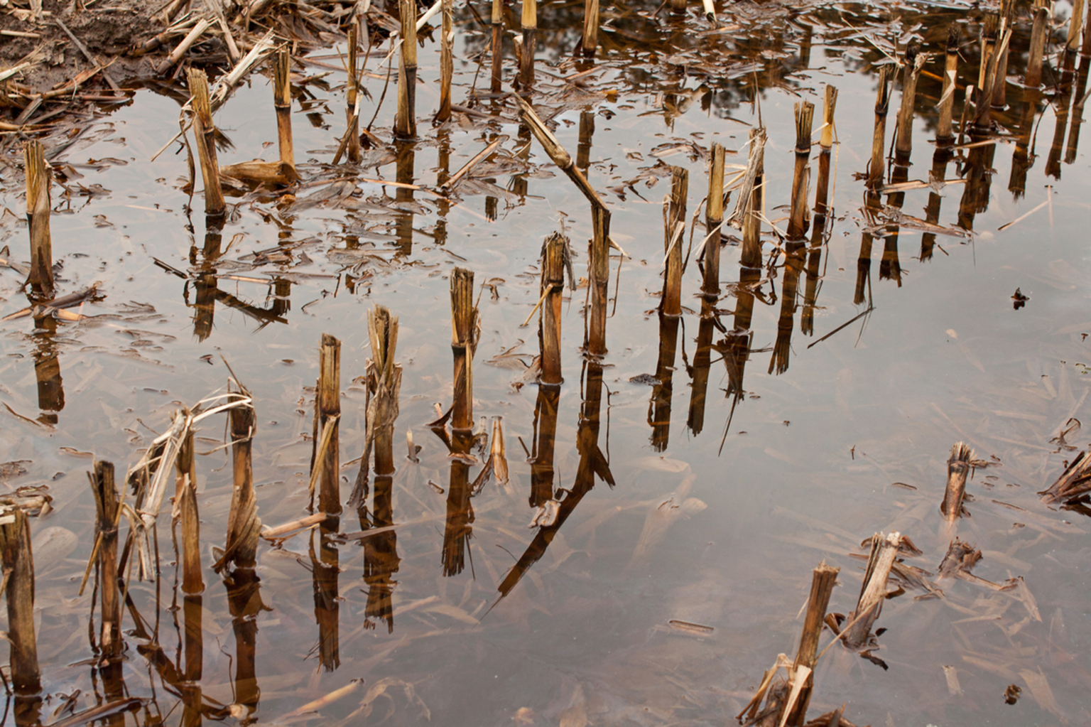 Verzopen maisstoppels - Regen, regen, regen, regen… wat een nattigheid viel er toch naar beneden de laatste tijd … het levert wel stof tot mooie plaatjes als je tussendoor t - foto door kosmopol op 24-01-2012 - deze foto bevat: nat, mais, veld, plas, kosmopol
