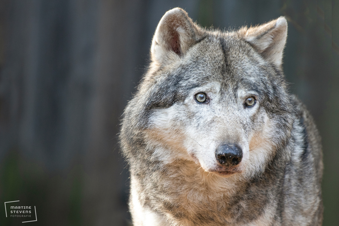 Grijze wolf - Mooie wazige achtergrond bij de wolf, foto gemaakt in Gaiazoo - foto door MartineStevens op 27-11-2020 - deze foto bevat: wolf, dierentuin, wildlife