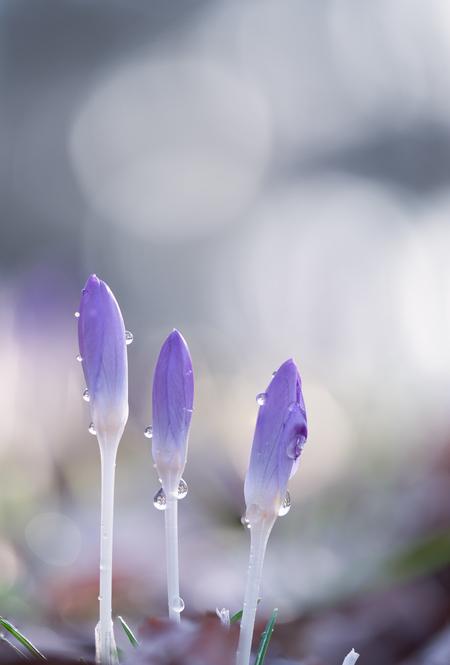 Druppels - - - foto door suzanharmsen op 04-03-2021 - deze foto bevat: paars, macro, zon, water, lente, natuur, druppel, licht, tegenlicht, dauw