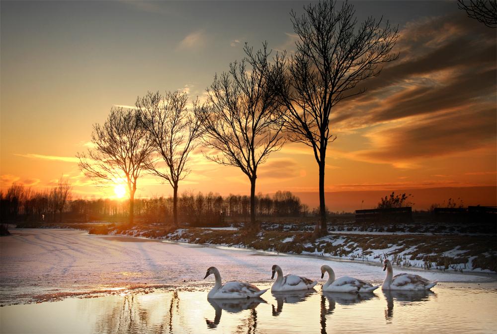 Winterszonsondergang - Zwanen tijdens zonsondergang in de winter. groeten, Bert - foto door b.neeleman op 21-01-2015