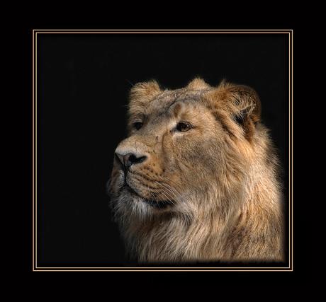 Leeuw van Blijdorp