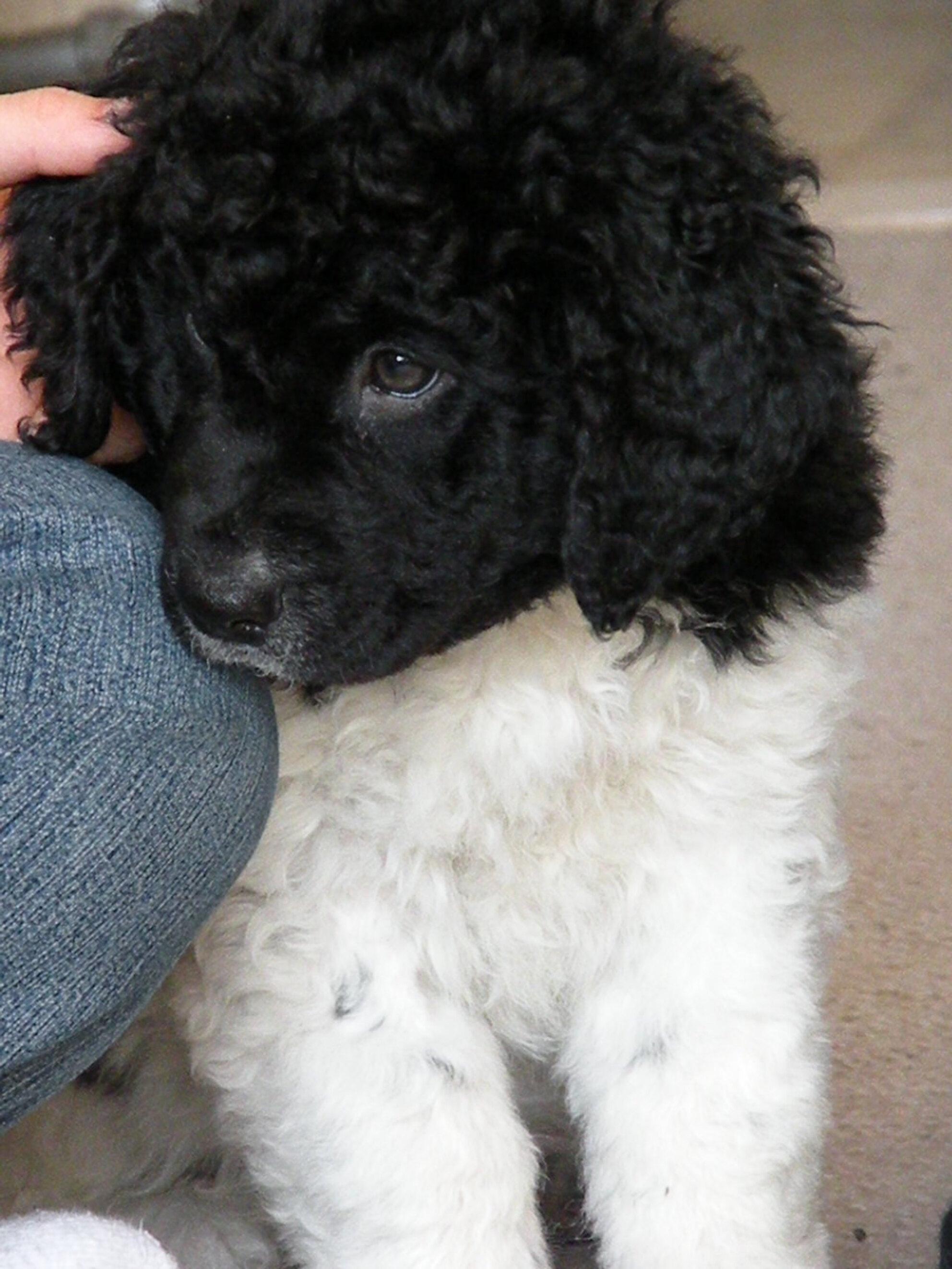 Wobbe - Wobbe zoekt bescherming bij zijn vrouwtje. Maar dat is tijdelijk want het is een doerak die onze hond Shannon steeds weer uitdaagd. - foto door emerentiana op 29-03-2009 - deze foto bevat: hond, dier, pup