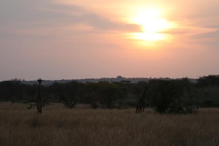 Zonsondergang - Op de terugweg, na een fantastische gamedrive, een prachtige zonsondergang met giraffen en zebra's. Altijd lastig om tegen de zon in te fotograveren. - foto door dunawaye op 19-01-2009 - deze foto bevat: zonsondergang, safari, giraffe, afrika, tanzania