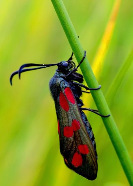jacobs vlinder